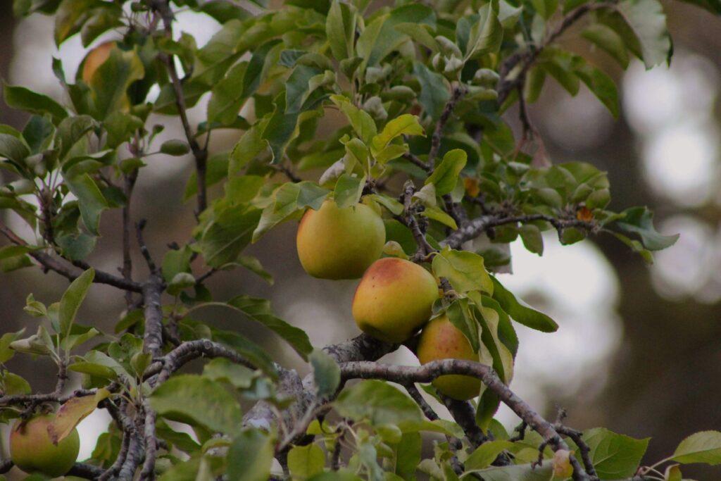 Kursen Ta hand om ditt fruktträd 2021 riktar sig till privatpersoner som vill lära sig ta hand om och beskära sina egna träd.